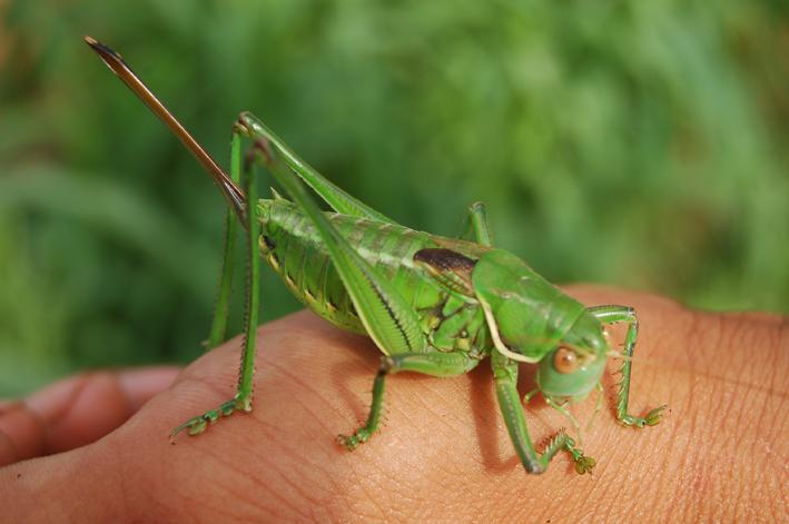 蝈蝈��h�_关于蝈蝈蛐蛐和蟋蟀的问题