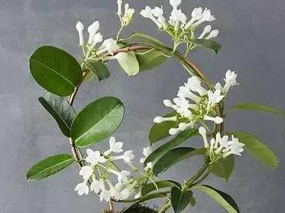 白喉杆菌具有_种什么样植物可以防蚊子_百度知道