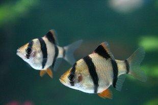 绿虎皮鱼要求高溶氧水体;金虎皮鱼体金红色
