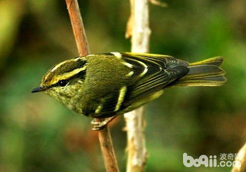 饲养黄腰柳莺要注意哪些问题?
