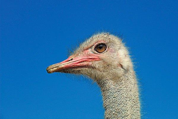 为什么鸵鸟发现危险时不跑,反而把头低下身子蜷曲起来?