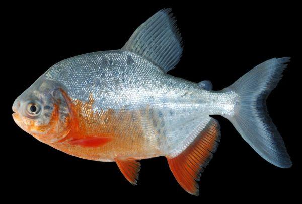淡水白鲳_这个是红腹食人鱼吗?? 如果不是 ,那是什么鱼??_百度知道