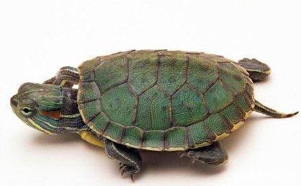怎么挑巴西龟?