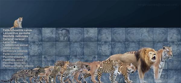 东北虎VS美洲狮,非洲狮,豹那个厉害点