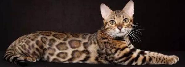 养孟加拉豹猫_豹猫能当宠物养吗?_百度知道