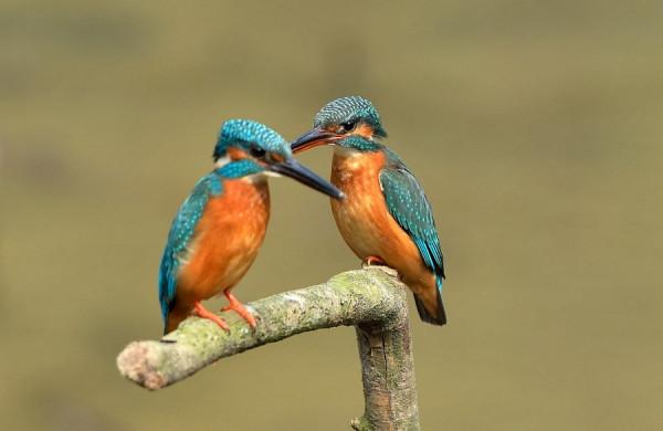因背和面部的羽毛翠蓝发亮,因而通称翠鸟.