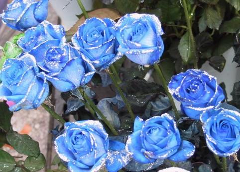 蓝色妖姬是干花吗_求蓝色妖姬的花语_百度知道