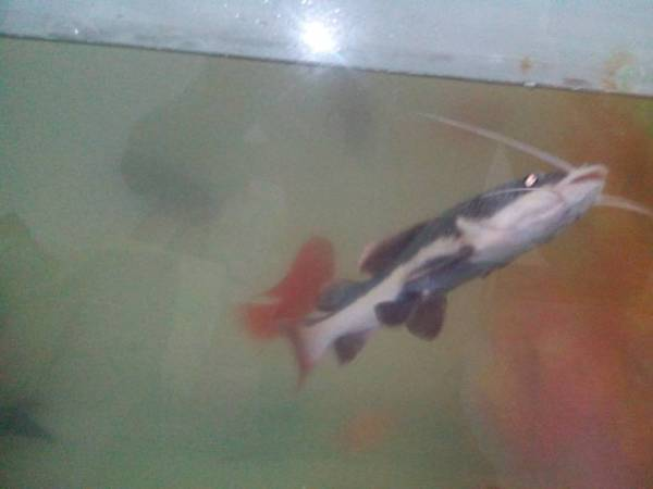 带鱼,为啥最近招财猫鱼一直要出鱼缸的感觉,口还一直长开,其