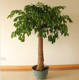 幸福树一直长高,但不粗壮怎么办?