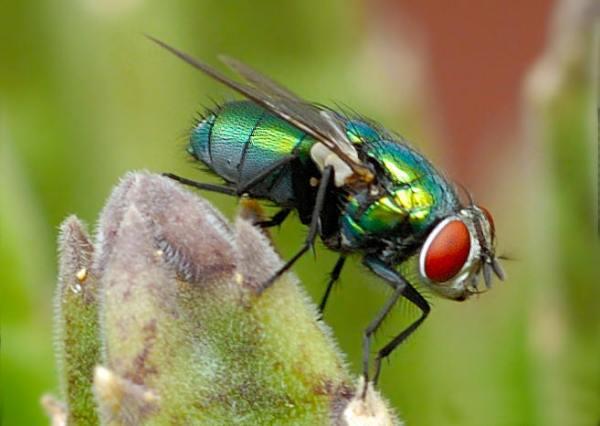 坚挺金苍蝇是什么_蓝绿色的比苍蝇大的东西是什么啊?_百度知道