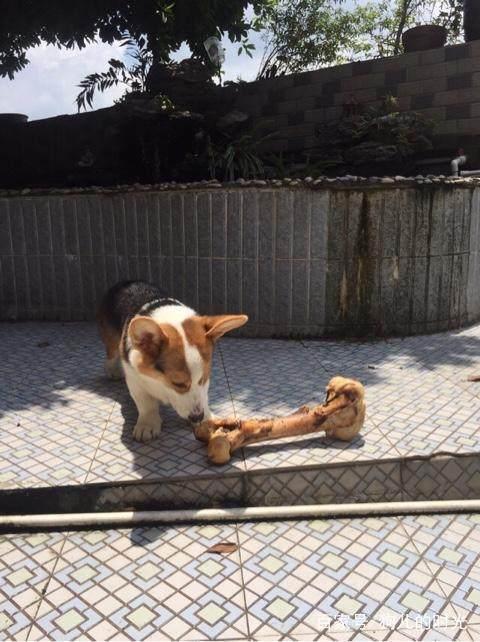 柯基犬怎么饲养呢?