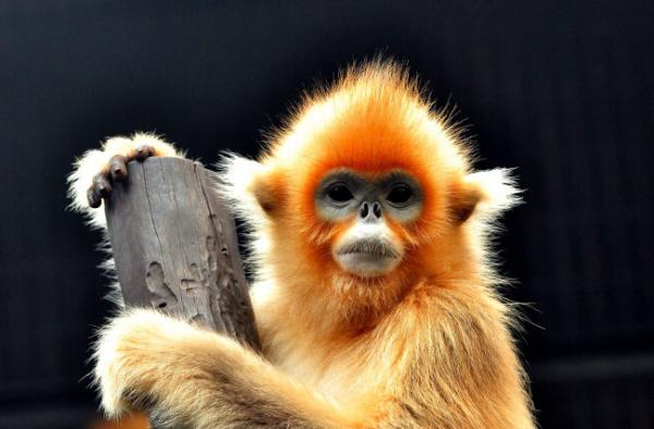 金丝猴图片_金丝猴位于中国的哪一部分_百度知道