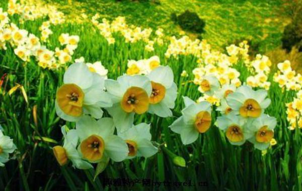 题水仙花诗词 有关水仙花的诗句 诗词歌曲 第4张