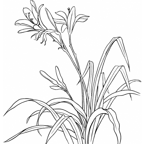 怎么用铅笔画兰花