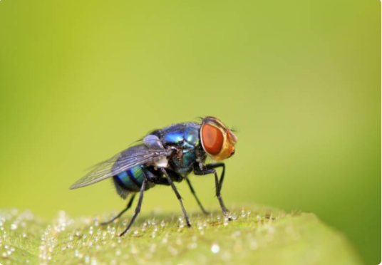蛆如何变成苍蝇_蛆虫是怎么产生的_百度知道