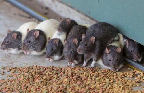 Image result for 传播鼠疫