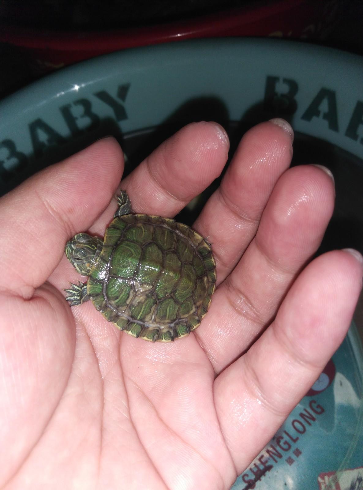 小乌龟浮在水面_小乌龟单侧漂浮在水面,游不到水底,壳有异样,最近在脱皮 ...