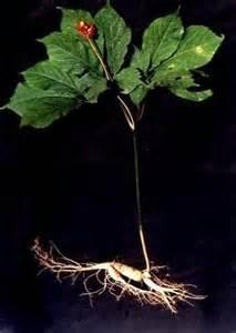 假西洋参图片_这个是什么植物?据说是西洋参,请专家帮忙鉴定_百度知道
