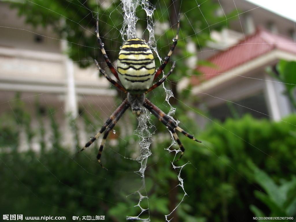 和棒络新妇很像的蜘蛛 金丝蛛和棒络新妇区别