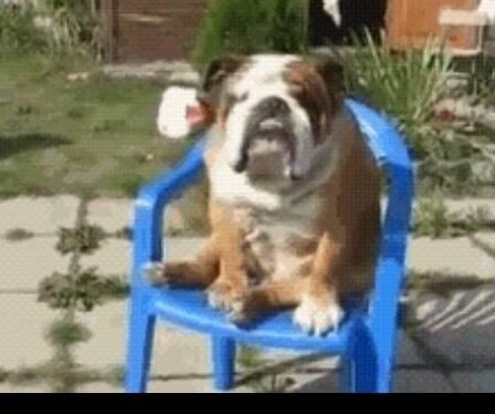 沙皮狗能看家吗_斗牛犬,沙皮犬,巴哥犬。哪个犬更好一点?性格温和不,对 ...