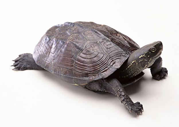 乌龟壳曲谱_乌龟壳图片卡通