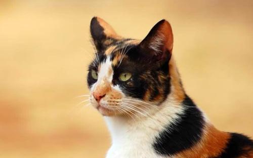 公猫绝育过程及注意事项