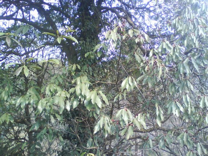 金丝楠木树高清图片_金丝楠木树图片_百度知道