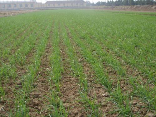 小麦的生长过程