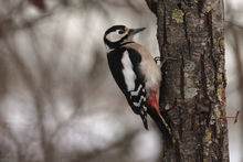 尾巴有两根白色羽毛的鸟