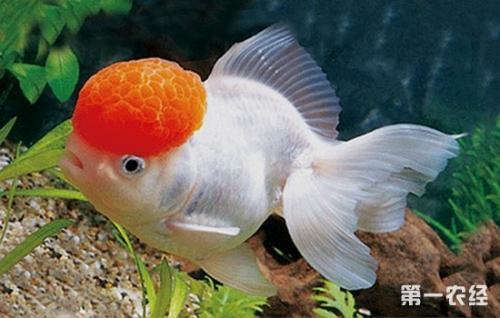 家庭怎样养金鱼视频_狮子头的金鱼怎样饲养_百度知道