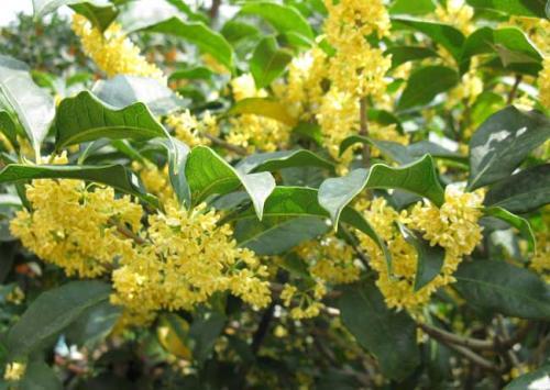 桂花新品种图片_桂花树一年四季都开花吗?_百度知道