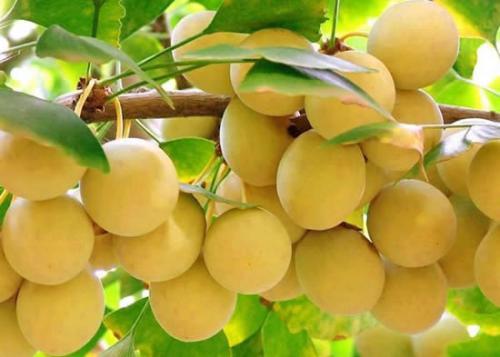 白果和开心果的图片区别_银杏的果实白果是不是开心果?_百度知道