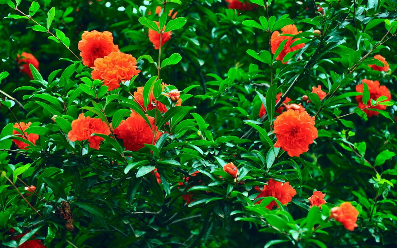 花是為了結果而出現的,為什么有些植物只開花不結果圖片
