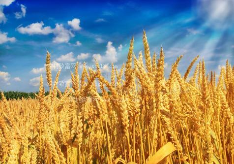 小麦和玉米的生长过程