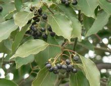 孕妇梦见满树的黑果子