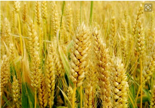 梦见好多小麦是什么意思