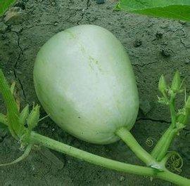 西瓜和南瓜冬瓜的区别