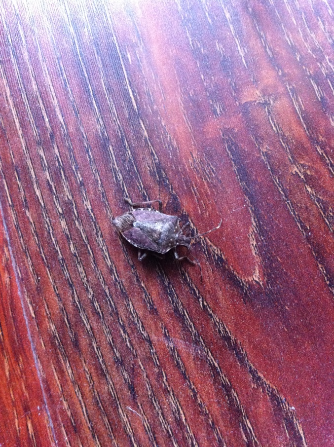 臭壳虫_这两天在家里的地板上陆续发现了三只长的一样的黑壳小虫子 ...