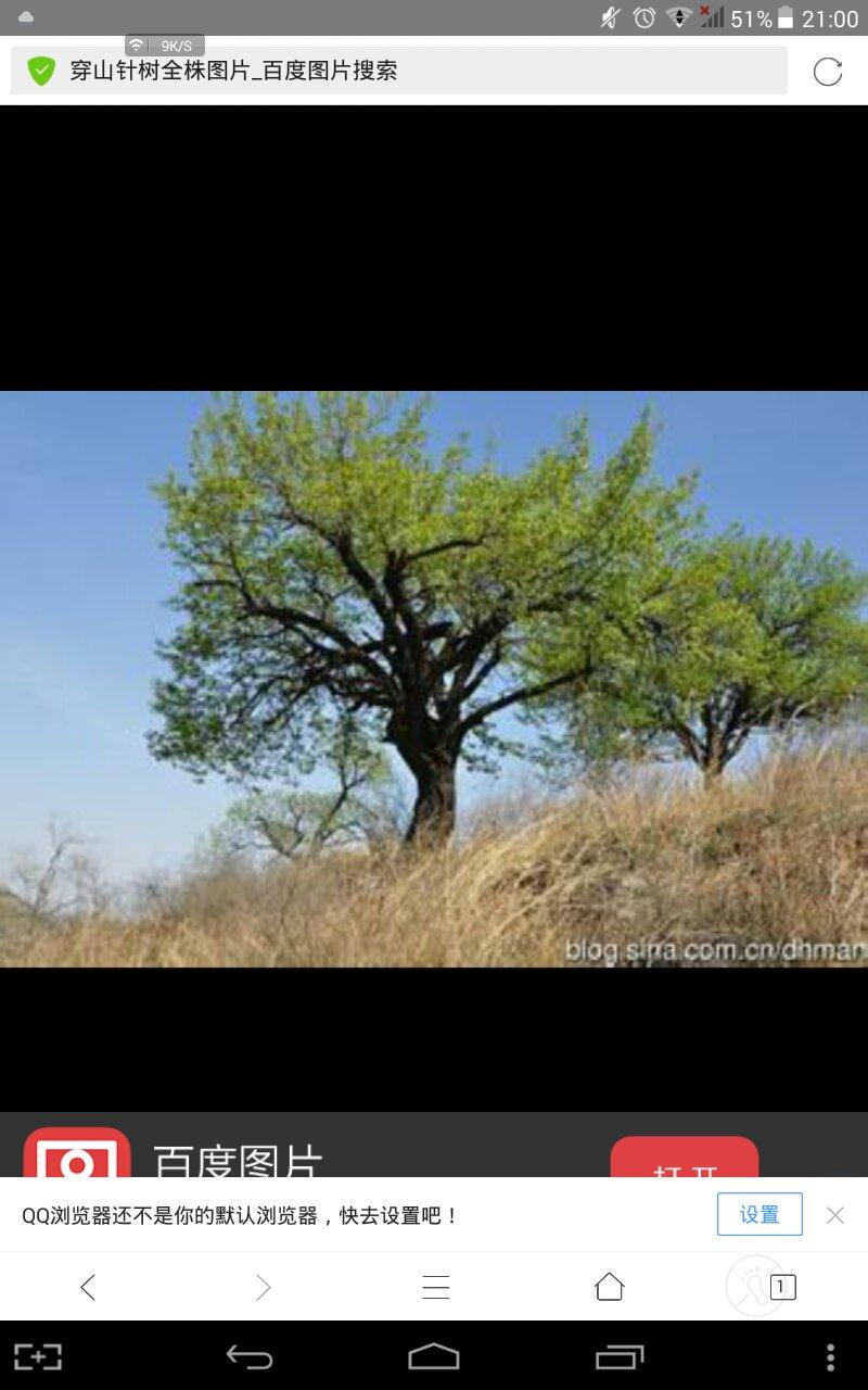 铁岭穿山针树_穿山针树长什么样,有图片吗_百度知道