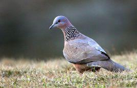 咕咕虫是什么鸟