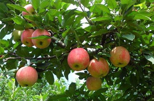 苹果树成长过程图片_如何种植苹果树?_百度知道