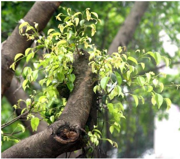 小叶紫檀_正宗印度小叶紫檀树和叶子的图片清晰图_百度知道