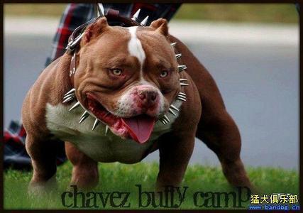 美國惡霸犬,中國不多的,很貴.圖片
