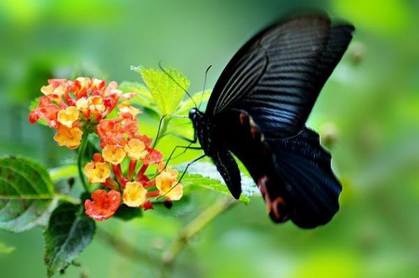 高温,店里飞来一只黑色蝴蝶,代表什么意思