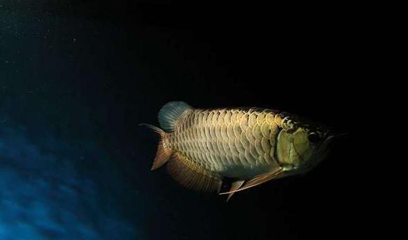 这样才能使龙鱼保持着旺盛的食欲 水族资讯