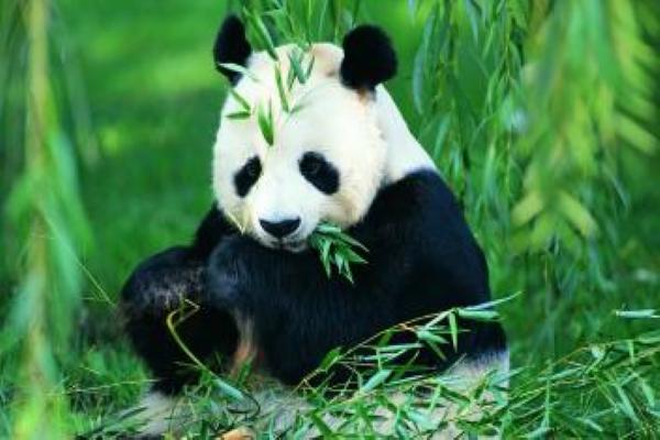 【熊猫怎么样】熊猫长得怎么样
