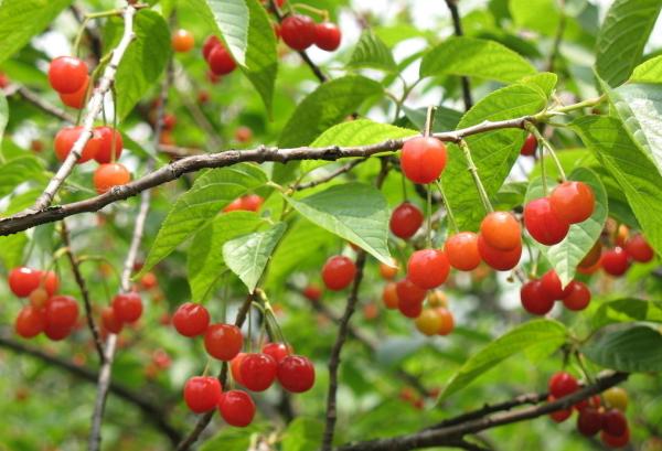 樱桃树树叶的长相如何图片