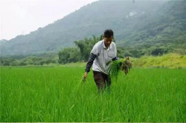 割稻谷时的图片。_谁有关于水稻从耕地到变成大米的每一步过程的图片?_百度知道