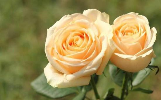 香槟色玫瑰花_香槟玫瑰花语是什么?_百度知道