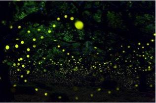 萤火虫为什么会发光呢?